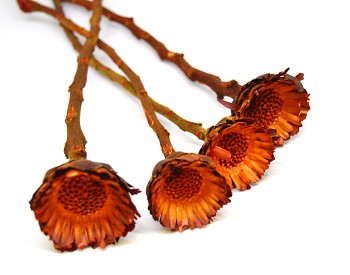 Sušené květiny COMPACTA ORANŽOVÁ