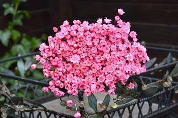 Suché a sušené květiny GLIXIA RŮŽOVÁ