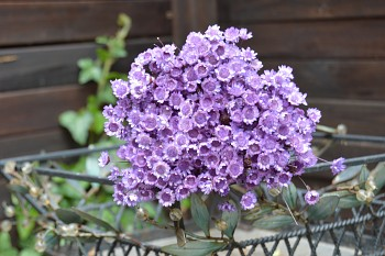 Suché a sušené květiny GLIXIA LILA