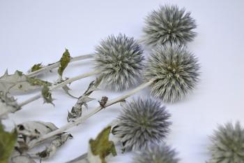 Sušené květiny ECHINOPS