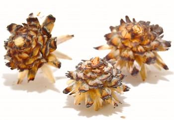 Sušené květiny PLUMOSUM NATUR