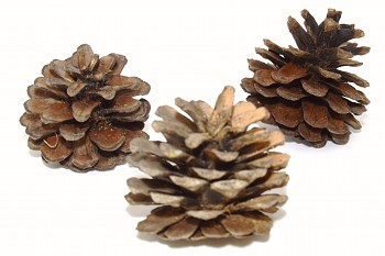 Borovicová šiška, podzimní dekorace