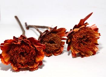 Sušené květiny REPENS CUT ČERVENÁ