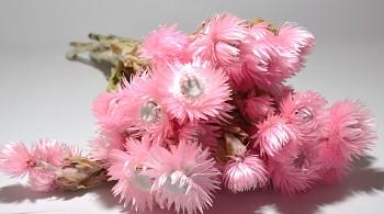 Sušené květiny SLAMĚNKA CAPBLUMEN RŮŽOVÁ
