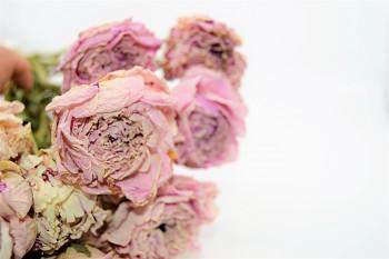 Sušené květiny PIVOŃKA RŮŽOVÁ