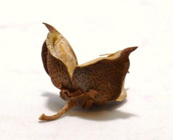 Sušené plody BAVLNÍK, suché plody na aranžování