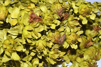 Sušené květiny na aranžování SVĚTLICE BARVÍŘSKÁ ZELENÁ
