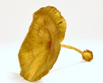 Suché plody Golden mushroom zlatá