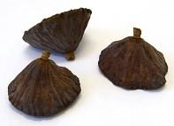 sušený lotos hnědý