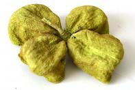 Sušené plody LOTOS SV. ZELENÝ, suché plody na aranžování