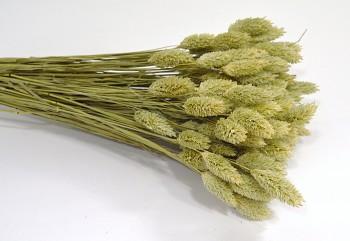 Suché a sušené květiny na aranžování Phalaris natur