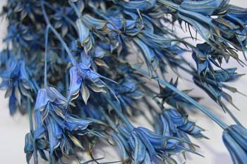 Suché a sušené květiny NIGELLA ORIENTALE MODRÁ