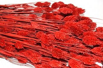 Suché a sušené květiny na aranžování PHALARIS BORDÓ