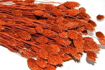 Suché a sušené květiny na aranžování PHALARIS TERACOTA