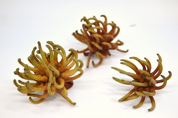 Sušené květiny SPIDERGUM CLAW