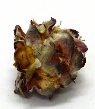 Sušené plody PUBESCENS SMALL, suché plody na aranžování