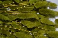 Sušené květiny na aranžování Lagurus olivově zelený