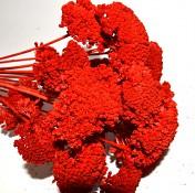Sušené květiny na aranžování Achiela bleached
