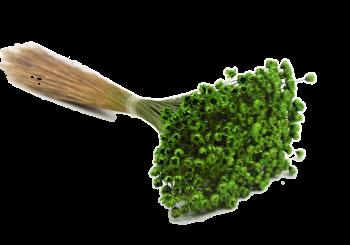 Glixia zelená, sušené květiny