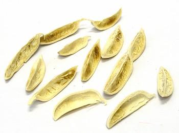 Suché plody THUJA PETAL BĚLENÉ, sušené plody na aranžování
