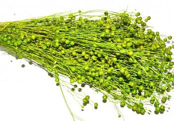 Suché a sušené květiny LEN SVĚTLE ZELENÝ