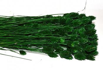 Suché a sušené květiny na aranžování PHALARIS TMAVĚ ZELENÝ
