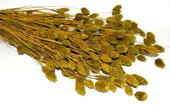 Suché a sušené květiny na aranžování PHALARIS OLIVOVĚ ZELENÝ