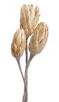 Sušené květiny PROTEA REPENS BUD SÍŘENÁ