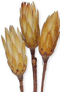 Sušené květiny PROTEA REPENS NORMAL