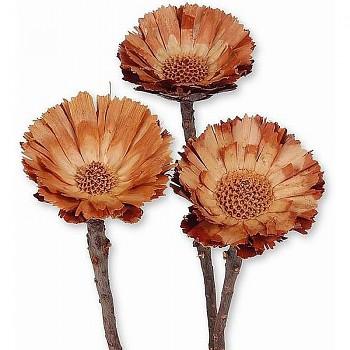 Sušené květiny COMPACTA CORONATHA BROWN