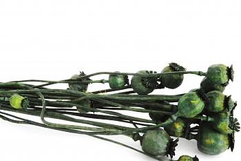 Suché a sušené květiny MAKOVICE ZELENÁ