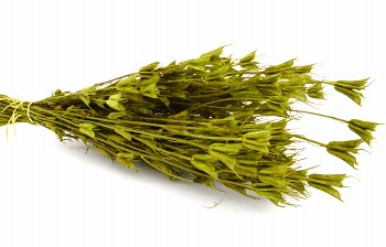 Suché a sušené květiny NIGELLA ORIENTALE ZELENÁ