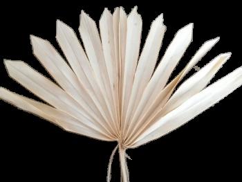 Sušené květiny PALM SUN SPEAR, bleached