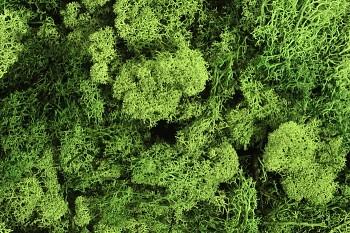 Mech islandský zelený