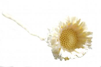 Sušené květiny COMPACTA BĚLENÁ