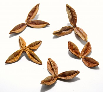 Sušený plod PAU TERRA ESTRELA