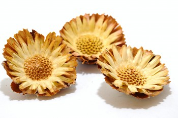Sušené květiny PROTEA COMPACTA SÍŘENÁ