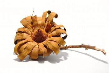 Sušené květiny Sulpherea