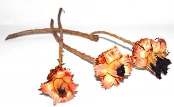 Sušené květiny NERIFOLIA