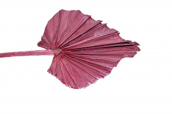 Sušené květiny PALM SPEAR FROSTED RED