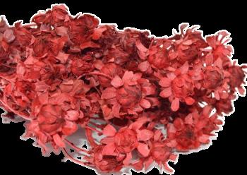 Sušené květiny na aranžování SVĚTLICE BARVÍŘSKÁ ČERVENÁ