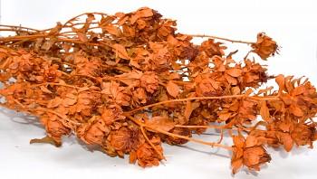 Sušené květiny na aranžování SVĚTLICE BARVÍŘSKÁ ORANŽOVÁ