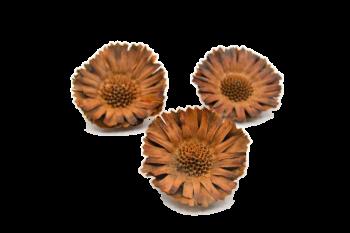 Sušené květiny PROTEA COMPACTA PŘÍRODNÍ