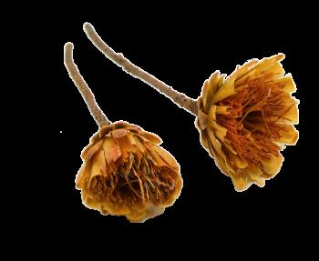 Sušené květiny REPENS CUT KRÉMOVÁ
