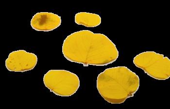 Sušené květiny LIST MONETA ŽLUTÝ