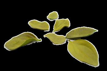 Sušené květiny LIST MAGNOLIE ZELENÁ