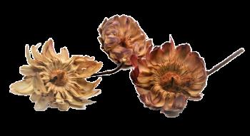 Sušené květiny Sulpherea růžová