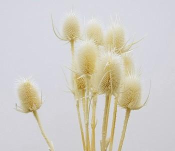 Suché a sušené květiny na aranžování BODLÁK BÍLÝ