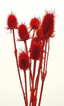 Suché a sušené květiny na aranžování BODLÁK ČERVENÝ