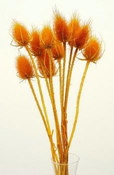 Suché a sušené květiny na aranžování BODLÁK ORANŽOVÝ